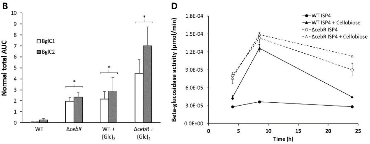 Contribution of the β-glucosidase BglC to the Onset of the