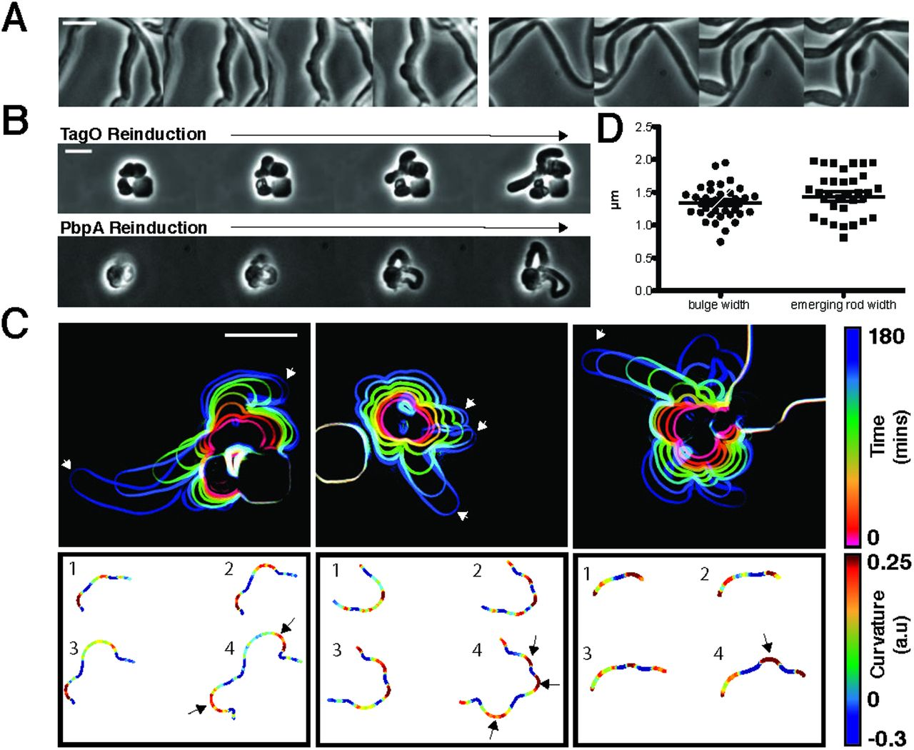 MreB filaments create rod shape by aligning along principal