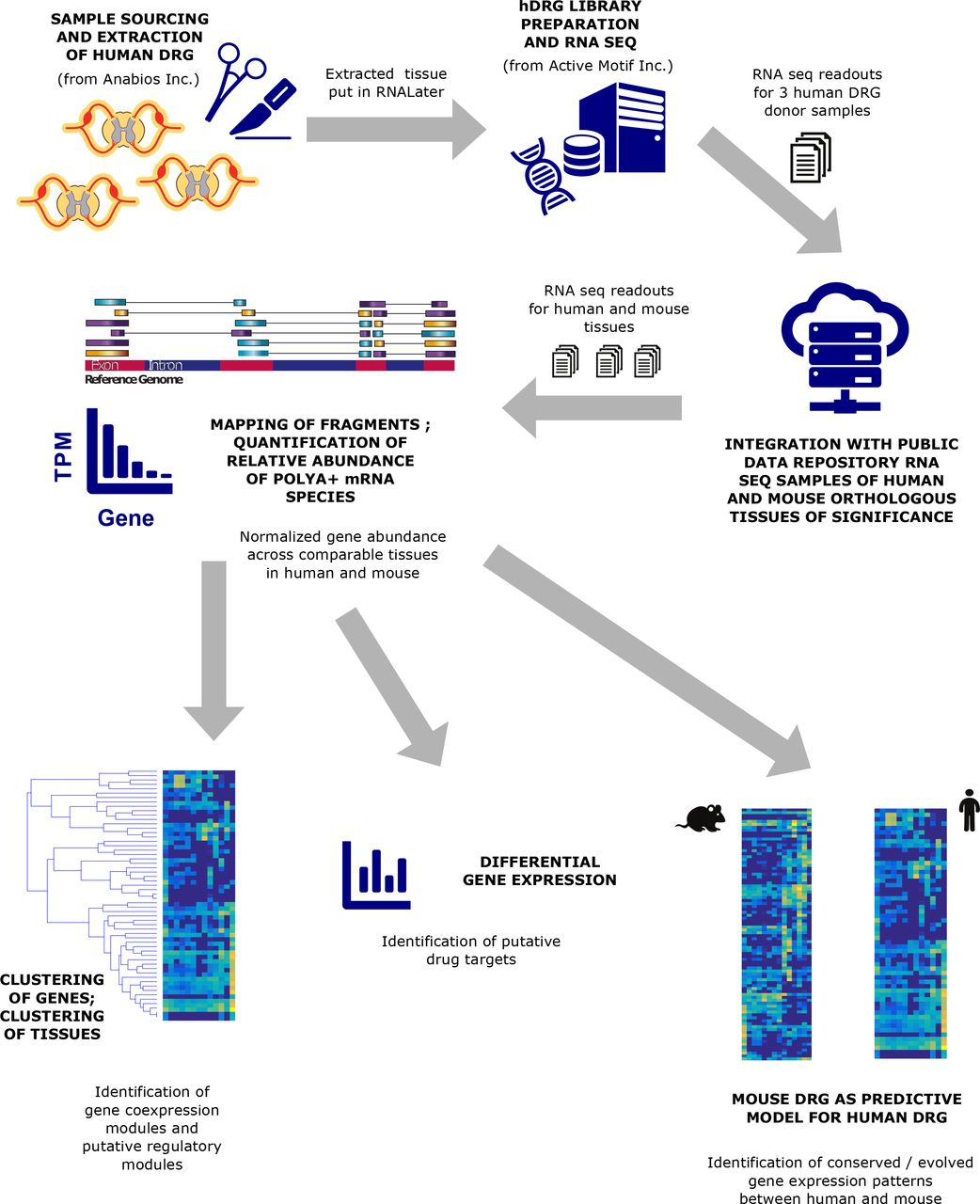 Comparative transcriptome profiling of the human and mouse