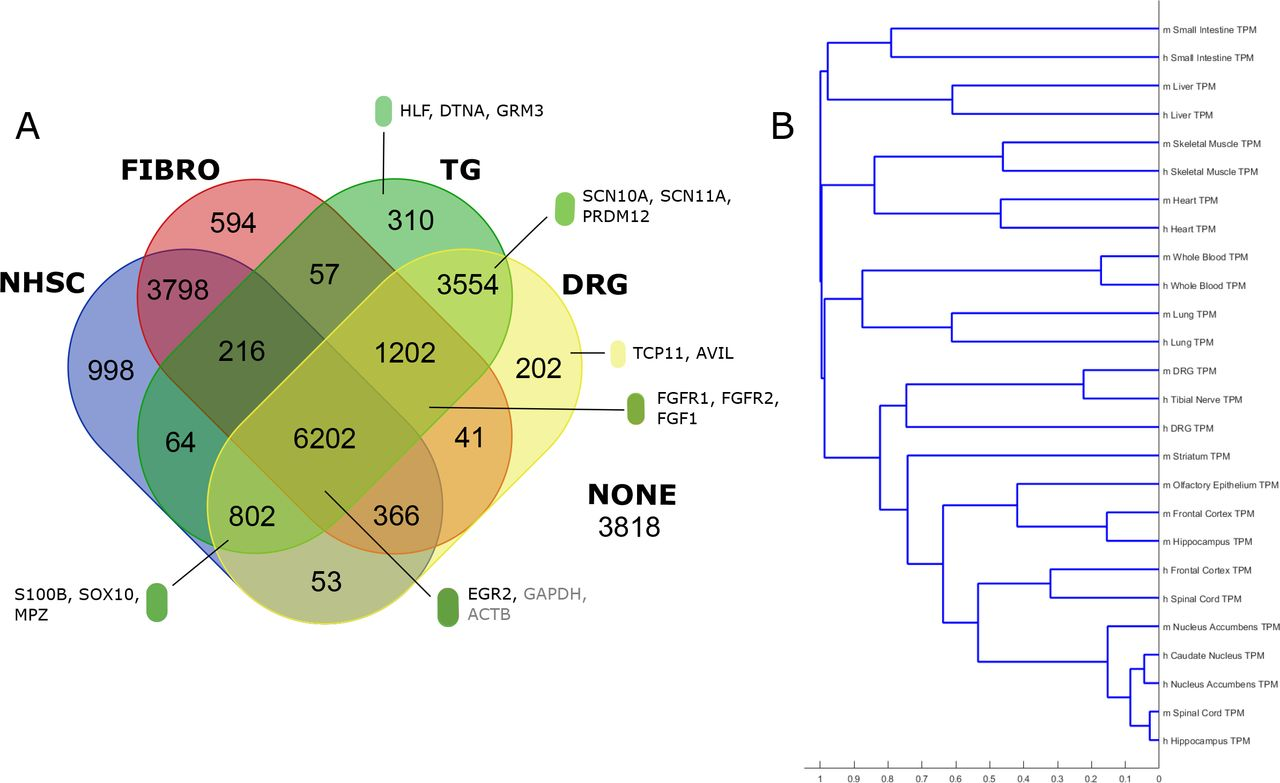 Comparative transcriptome profiling of the and mouse dorsal ... on