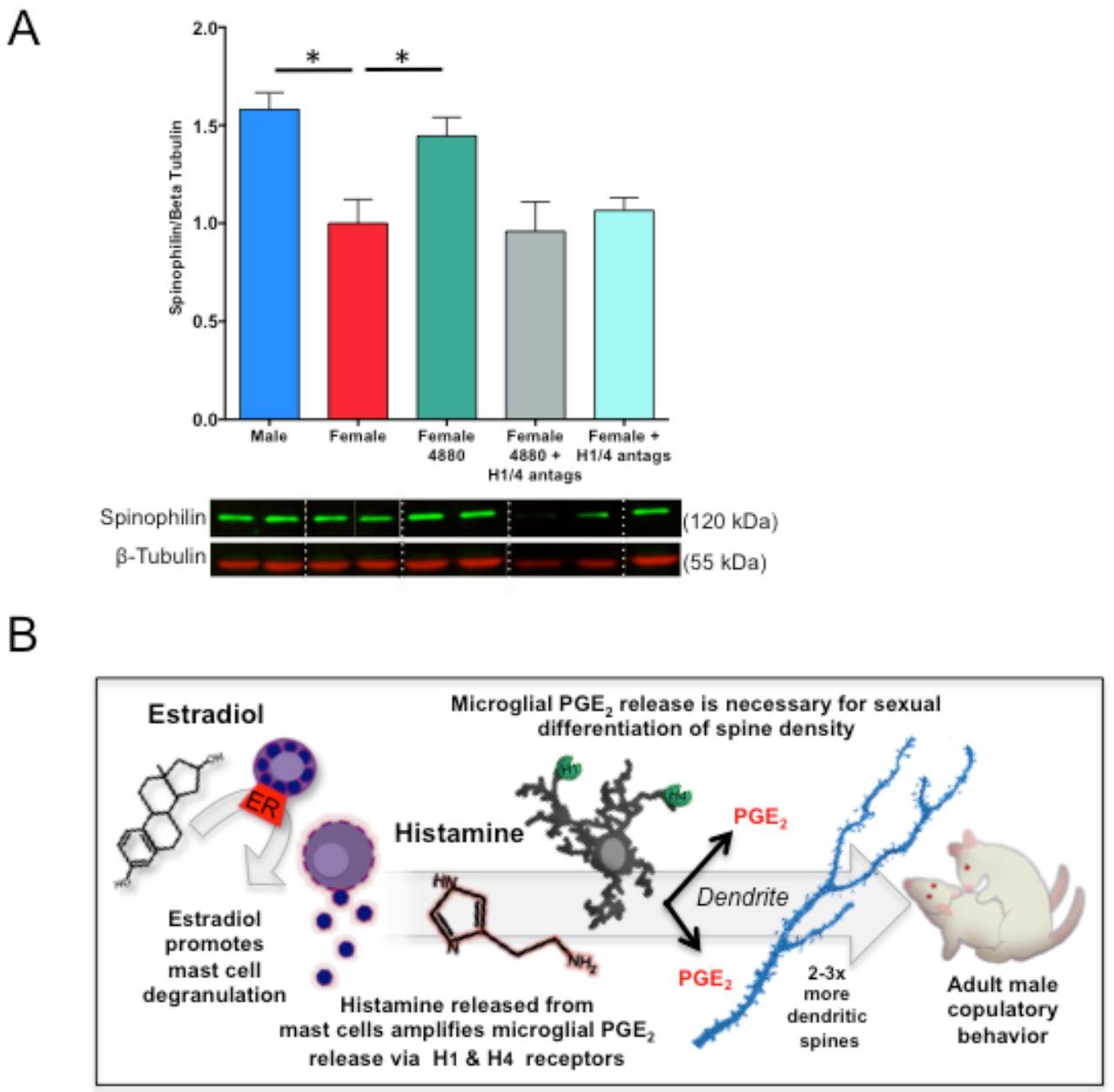 Mast Cells in the Developing Brain Determine Adult Sexual Behavior