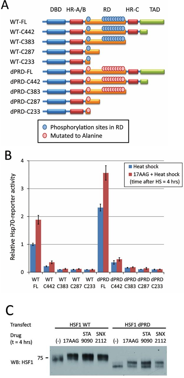 HSP90 inhibitors disrupt a transient HSP90-HSF1 interaction and