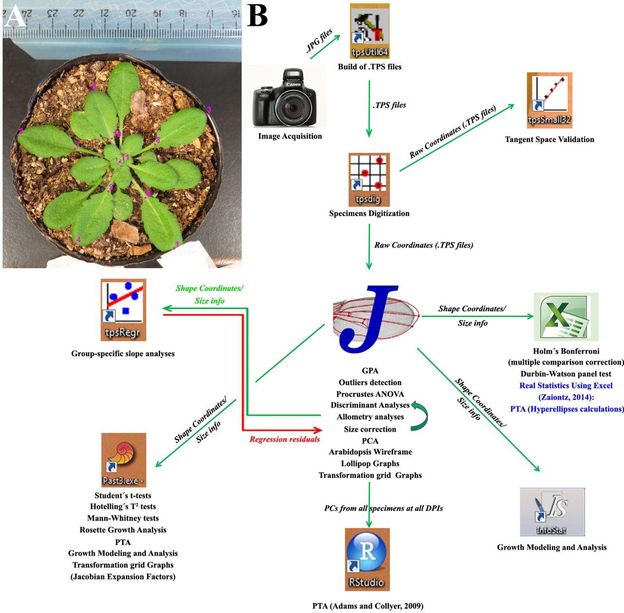 Arabidopsis phenotyping through Geometric Morphometrics