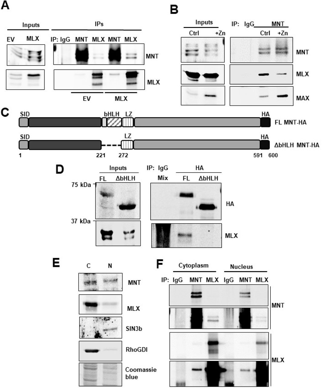 The MYC Antagonist MNT Autoregulates Its Expression And Supports