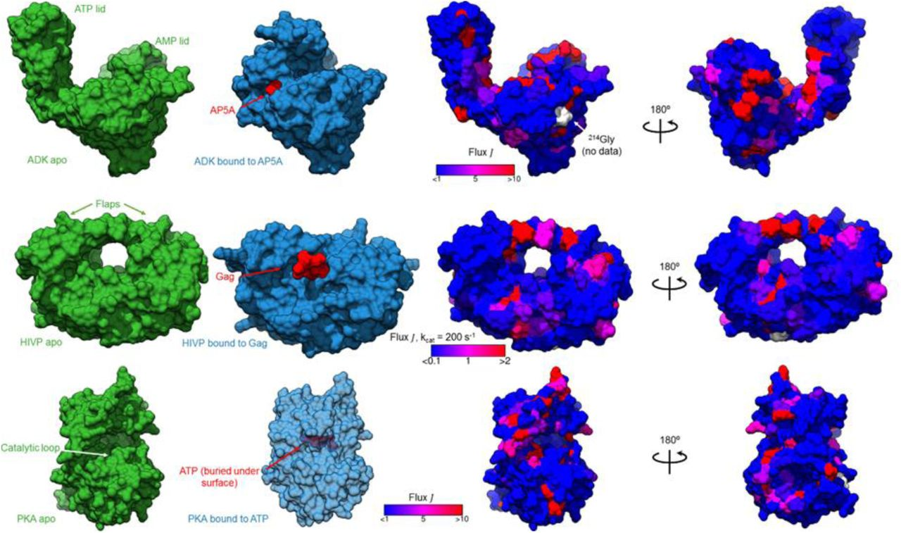 Motor-Like Properties of Non-Motor Enzymes | bioRxiv