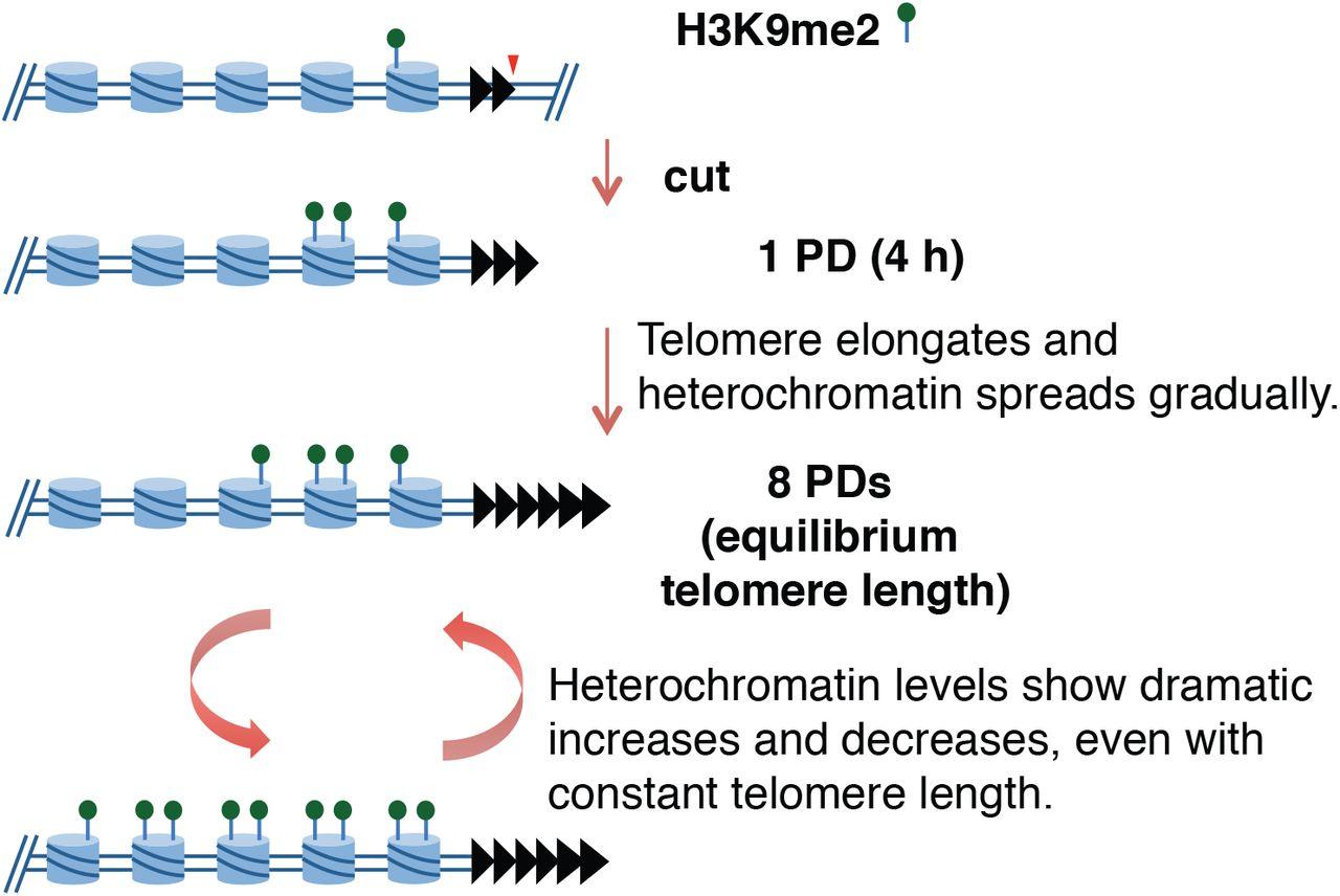 A heterochromatin domain forms gradually at a new telomere ...