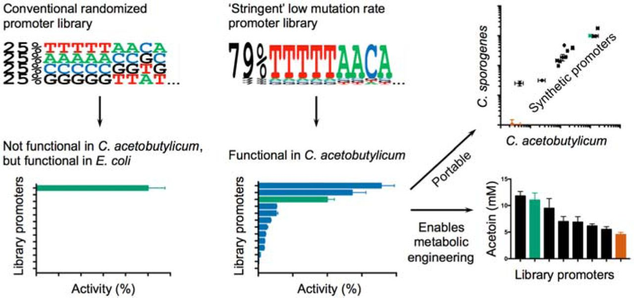 Stringency of synthetic promoter sequences in Clostridium