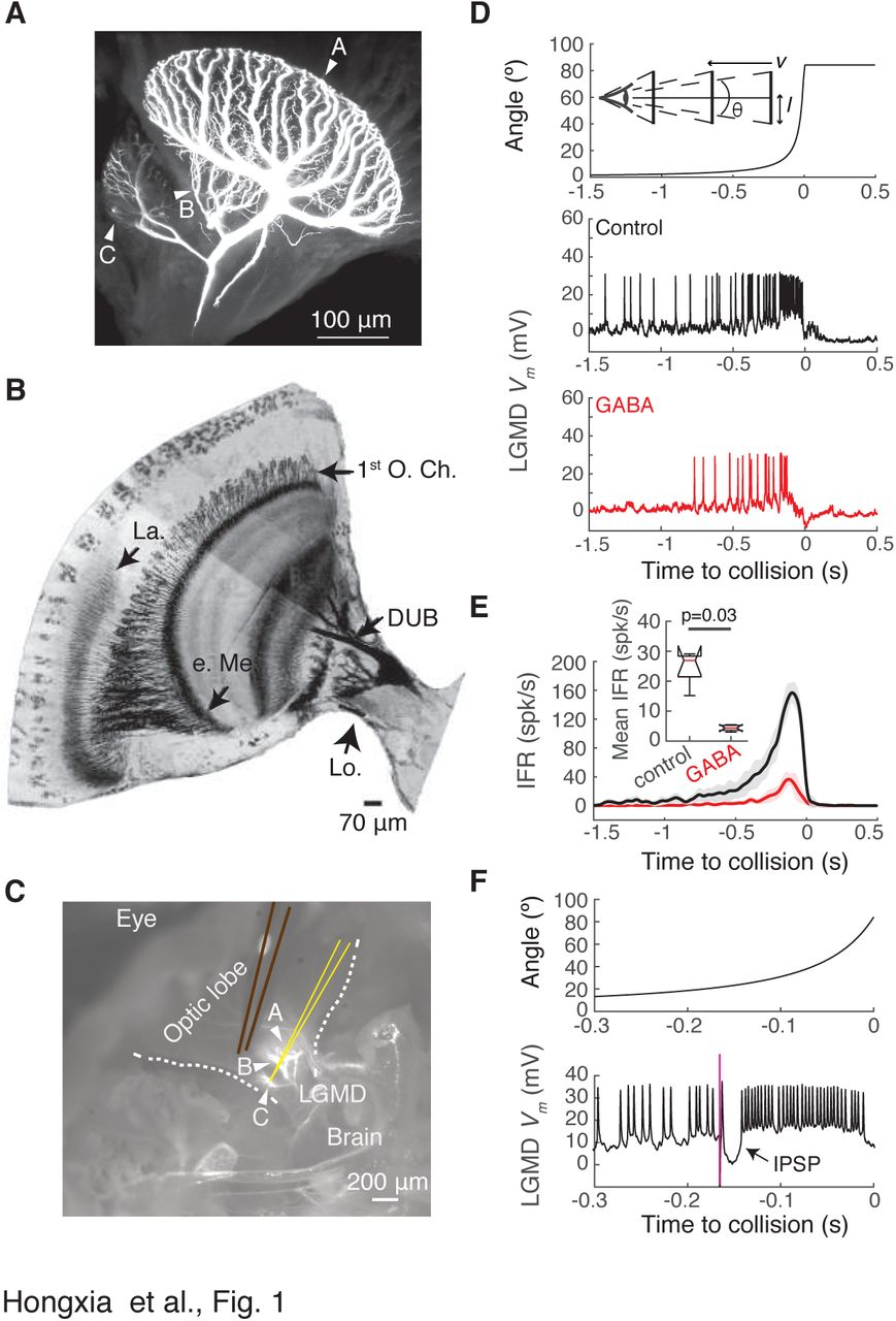 Neural code subserving feed-forward inhibition in a collision