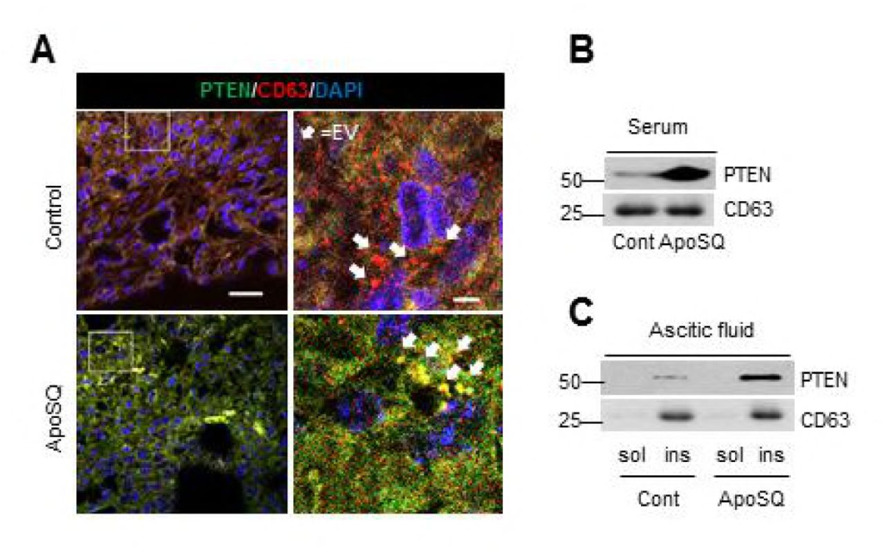 Programming of macrophages by apoptotic cancer cells inhibits cancer
