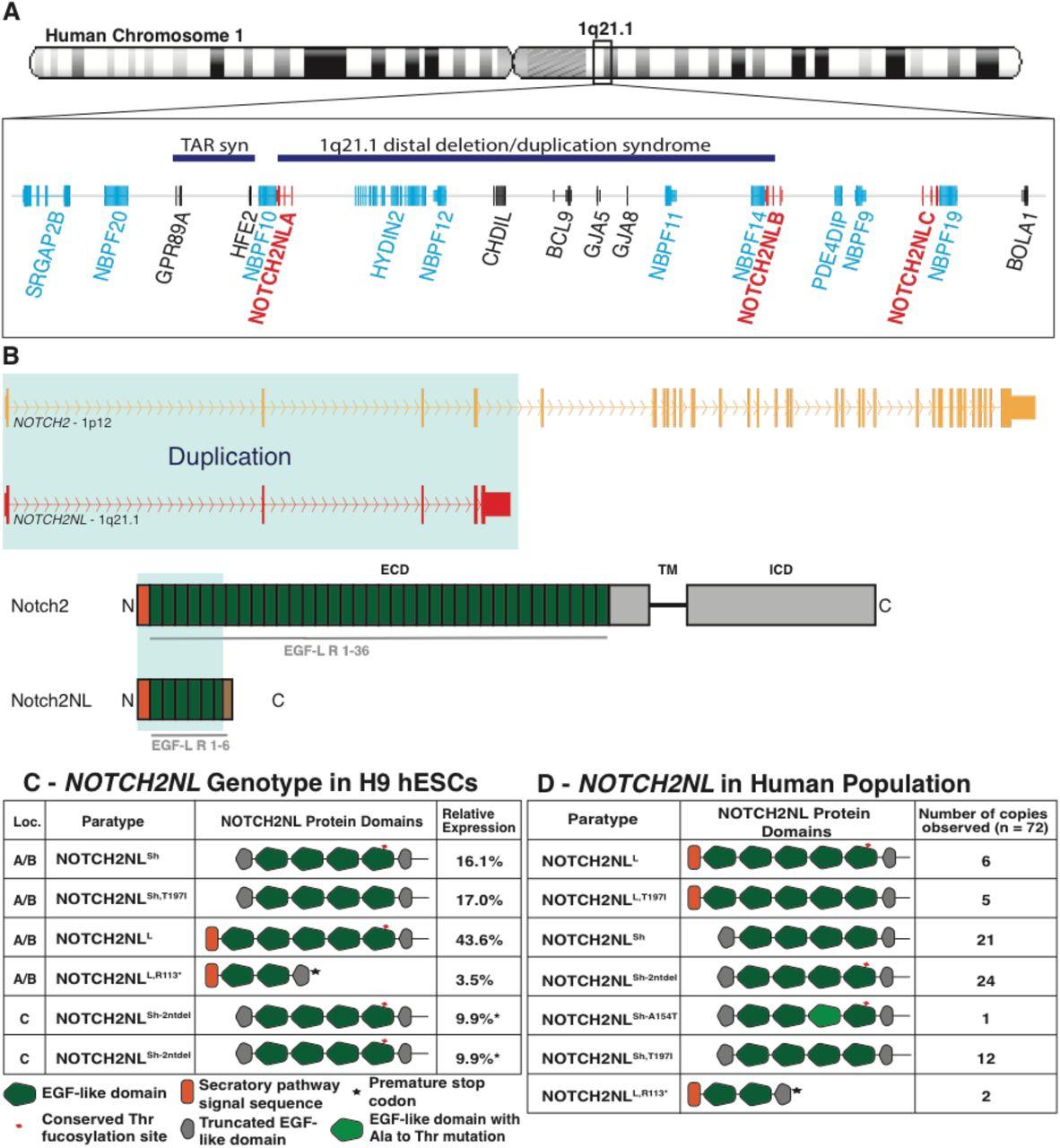 Human-specific NOTCH-like genes in a region linked to