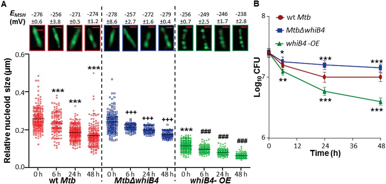 Redox-Dependent Condensation Of the Mycobacterial Nucleoid