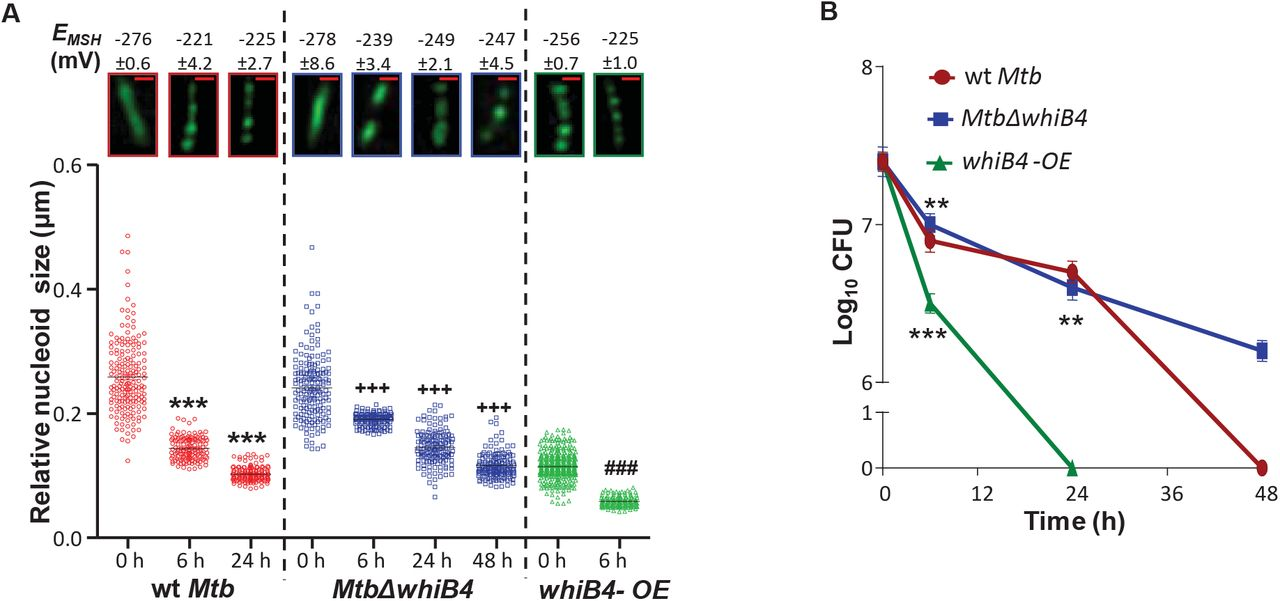 Redox-Dependent Condensation Of the Mycobacterial Nucleoid By WhiB4
