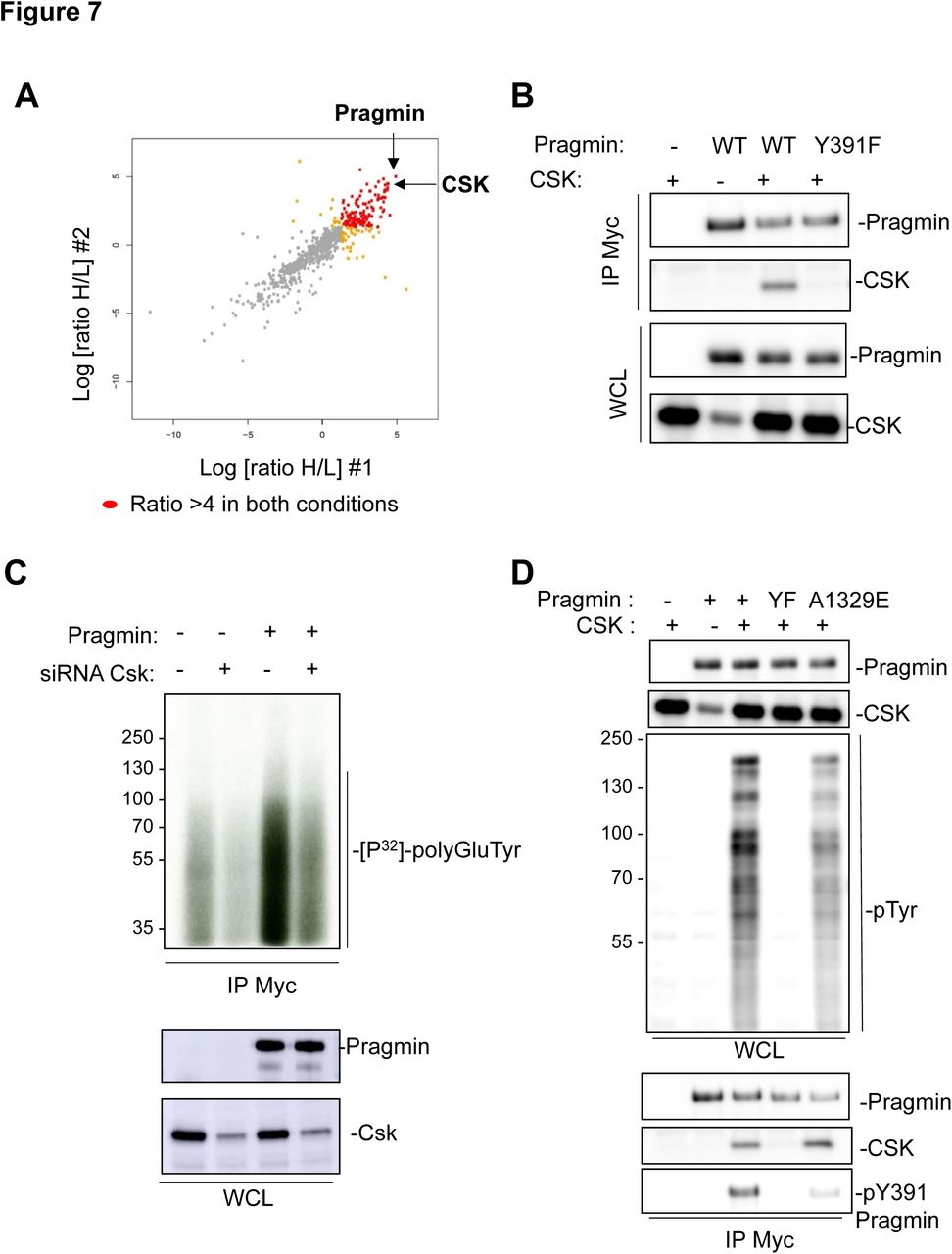 Dimerization of the Pragmin pseudo-kinase regulates protein tyrosine