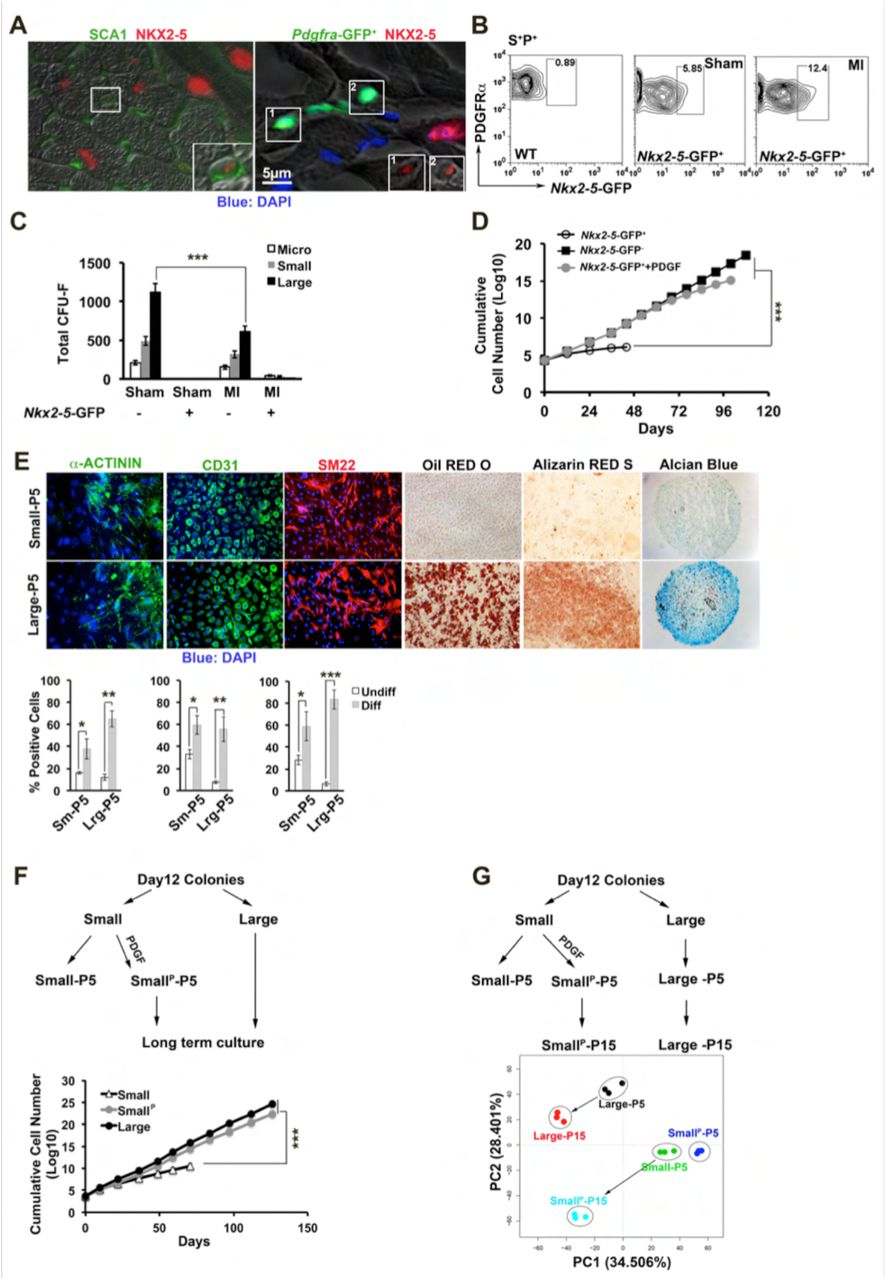PDGFRα signaling in cardiac stem and stromal cells modulates
