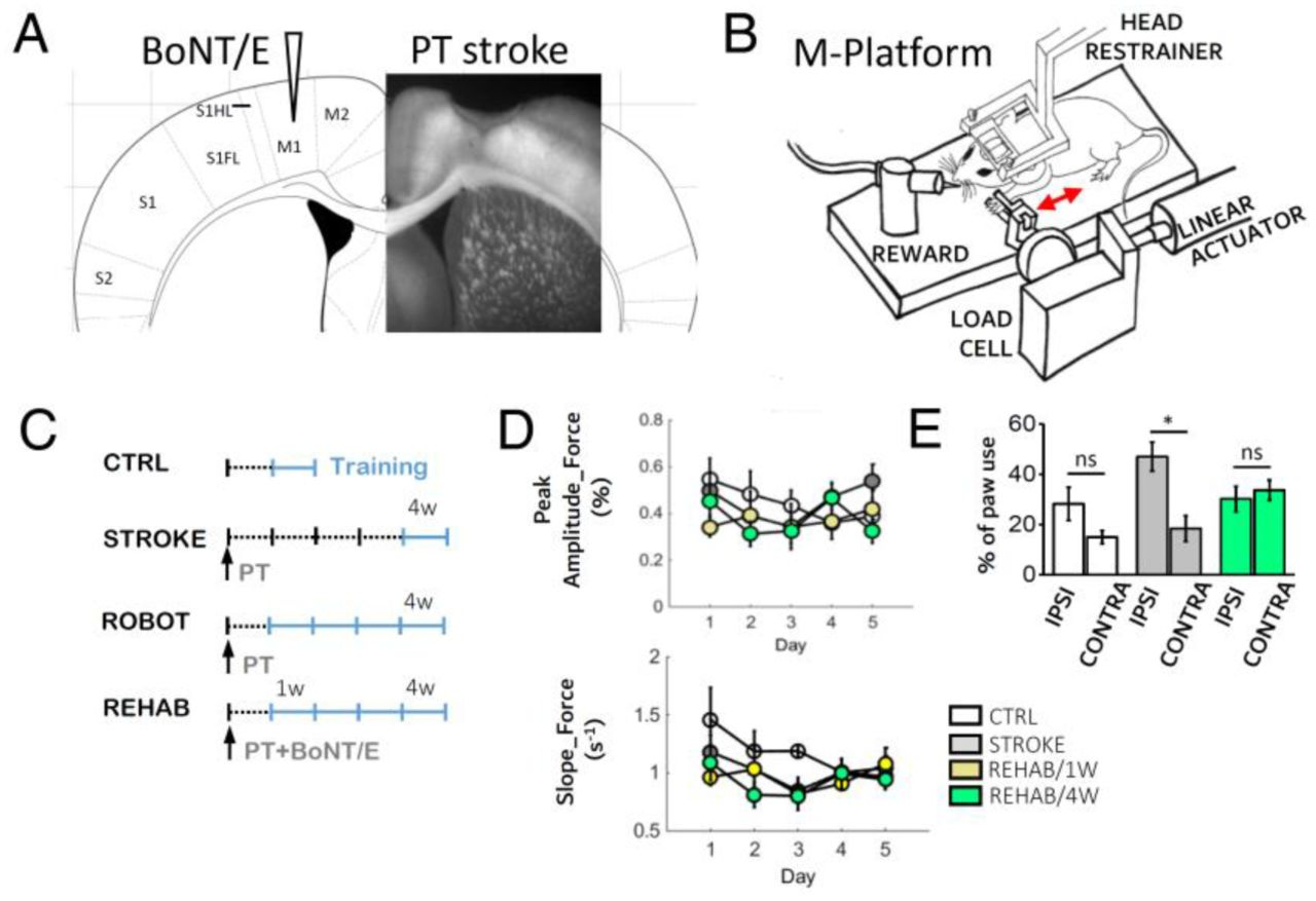Rehabilitation promotes the recovery of distinct functional