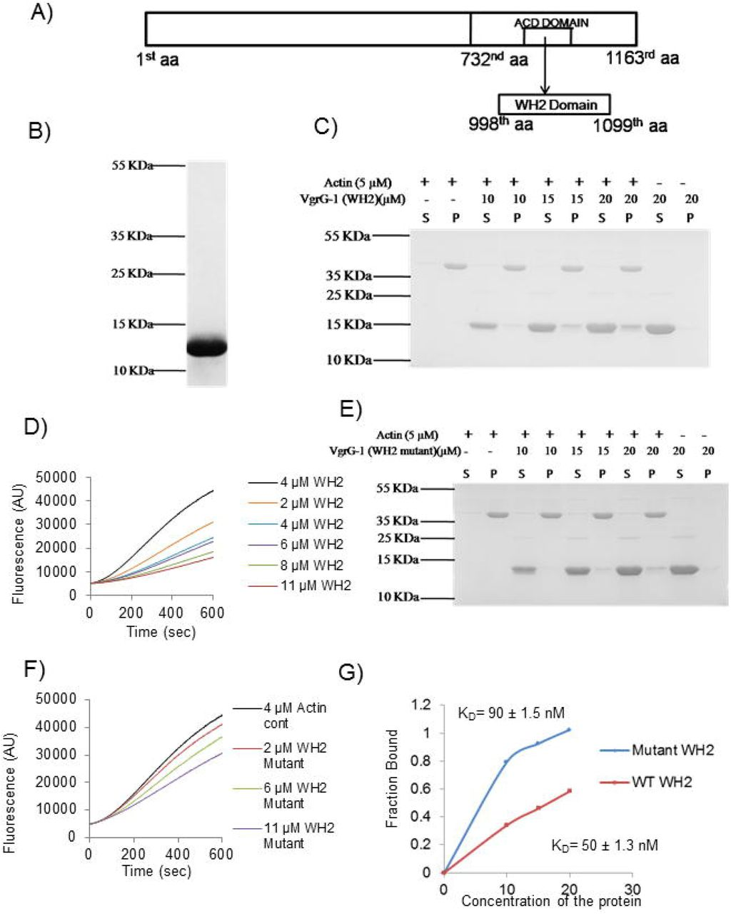 Presence of WH2 like domain in VgrG-1 toxin of Vibrio cholerae