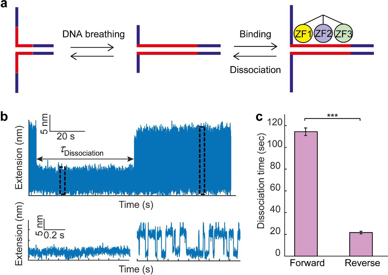 Single-molecule DNA unzipping reveals asymmetric modulation