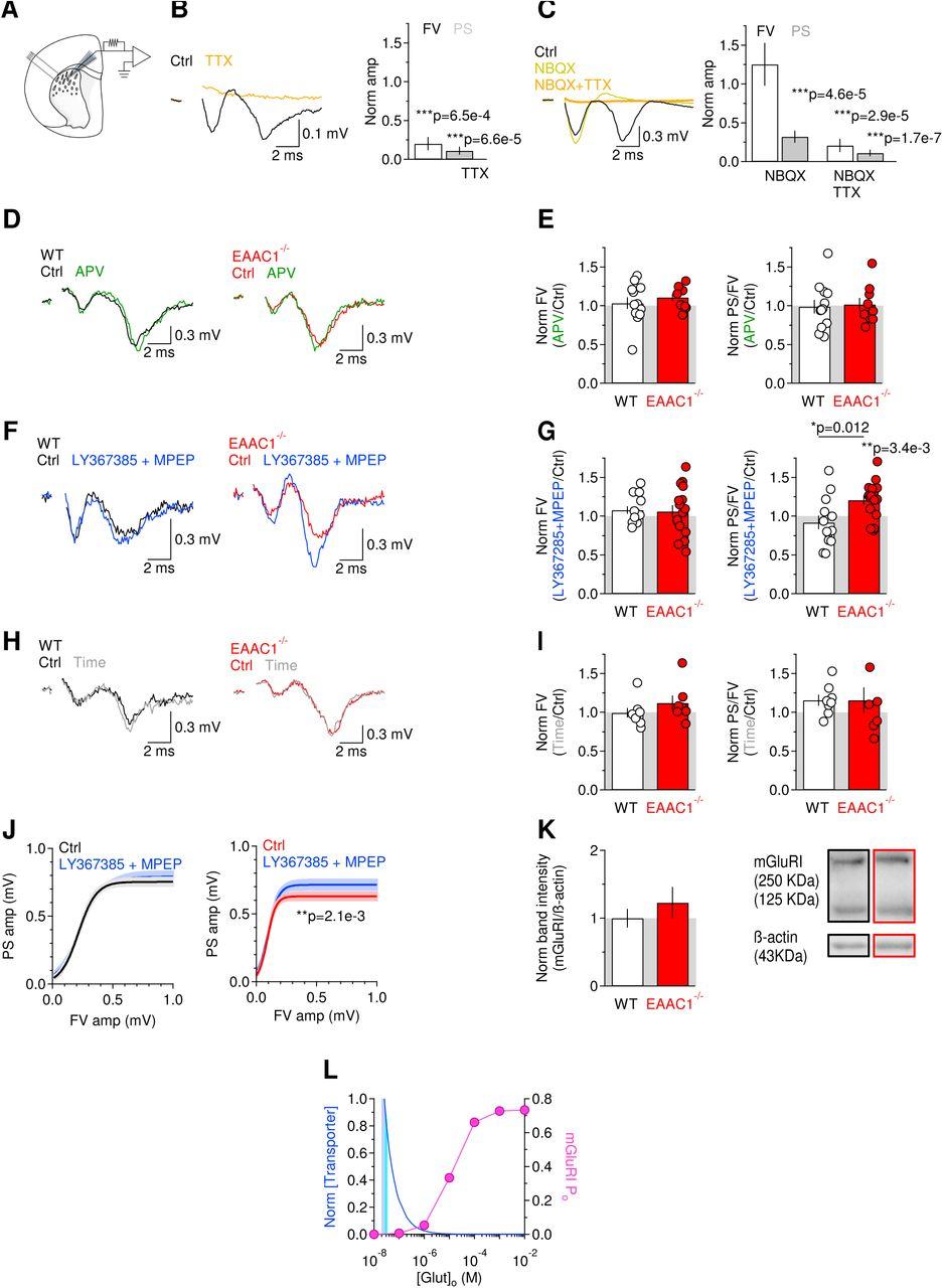 Neuronal glutamate transporters control dopaminergic signaling and