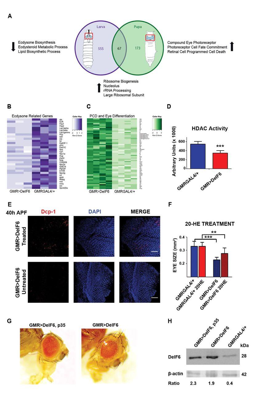 Increasing Eukaryotic Initiation Factor 6 (eIF6) Gene Dosage