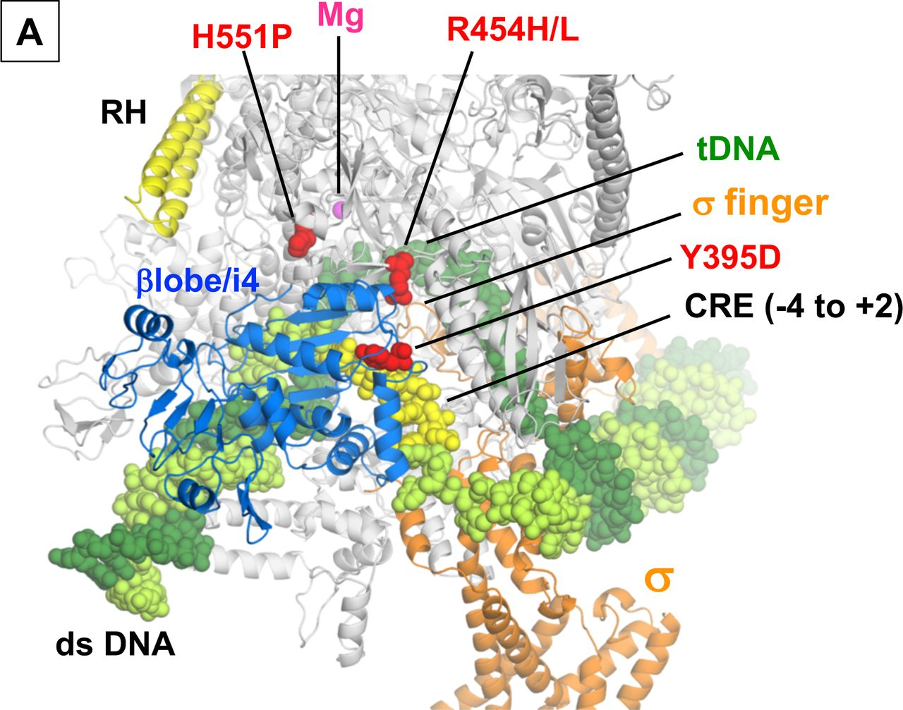 Allosteric effector ppGpp potentiates the inhibition of