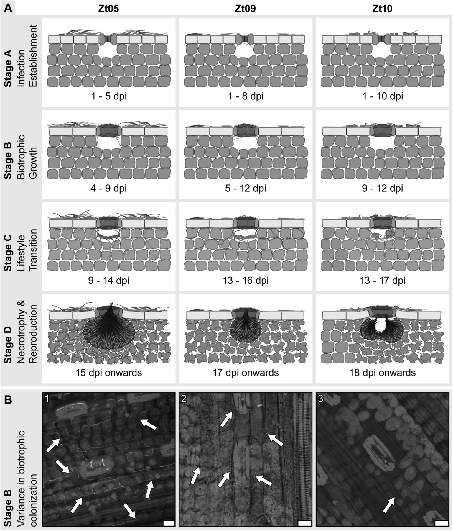 Extremely flexible infection programs in a fungal plant