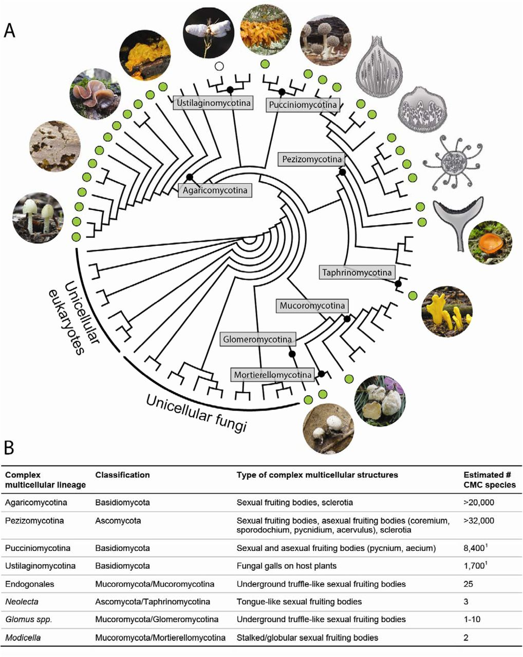 Complex multicellularity in fungi: evolutionary convergence