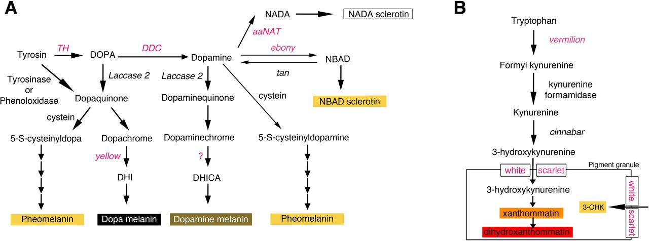 Dopamine quinone | C8H9NO2 - PubChem | 476x1280