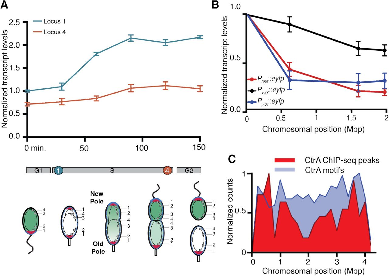 Phospho-signal flow from a pole-localized microdomain