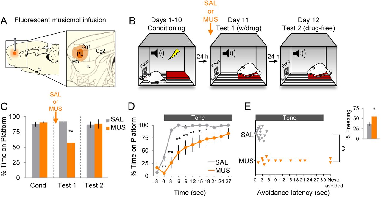 Active avoidance requires inhibitory signaling in the rodent