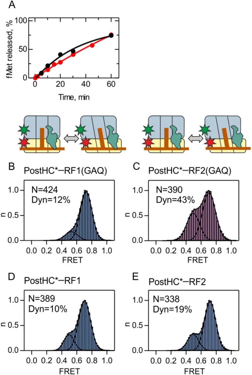 Dynamics of ribosomes and release factors during translation