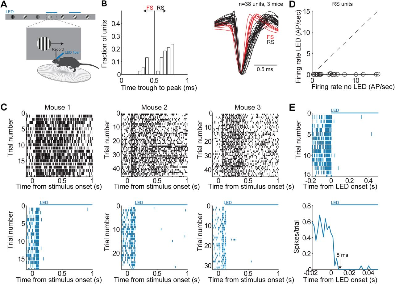 First spikes in visual cortex enable perceptual