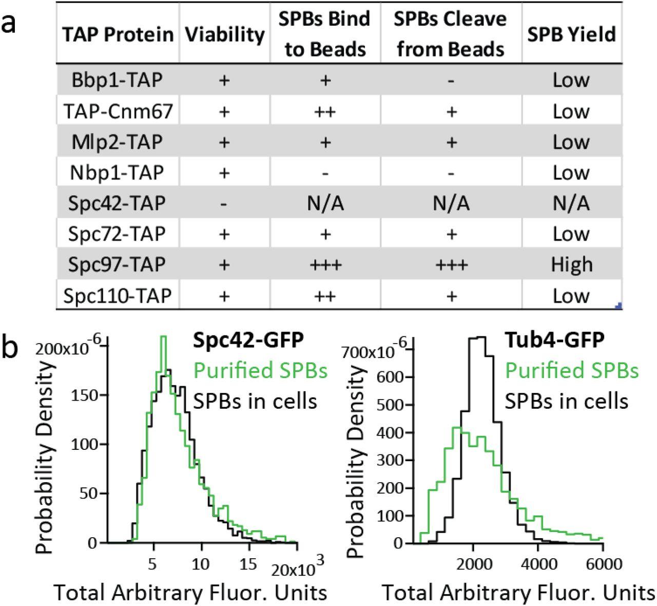 Novel Phosphorylation States of the Yeast Spindle Pole Body | bioRxiv