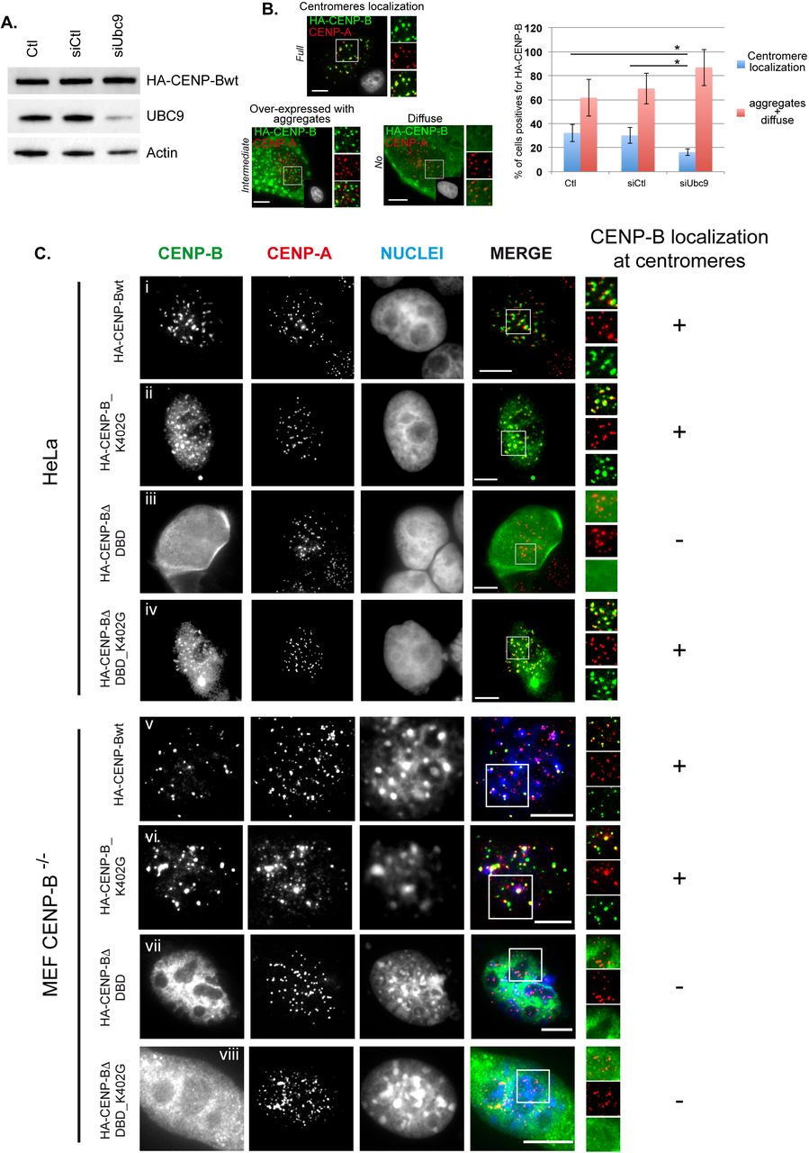 CENP-B dynamics at centromeres is regulated by a SUMOylation