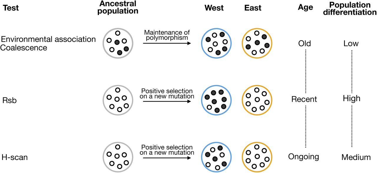 Genome-wide scans of selection highlight the impact of