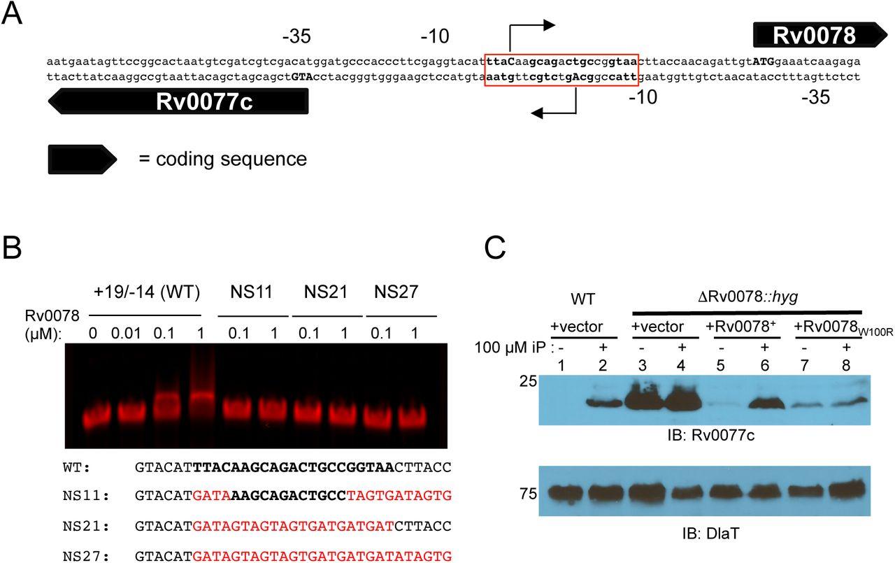 Cytokinin signaling in Mycobacterium tuberculosis | bioRxiv