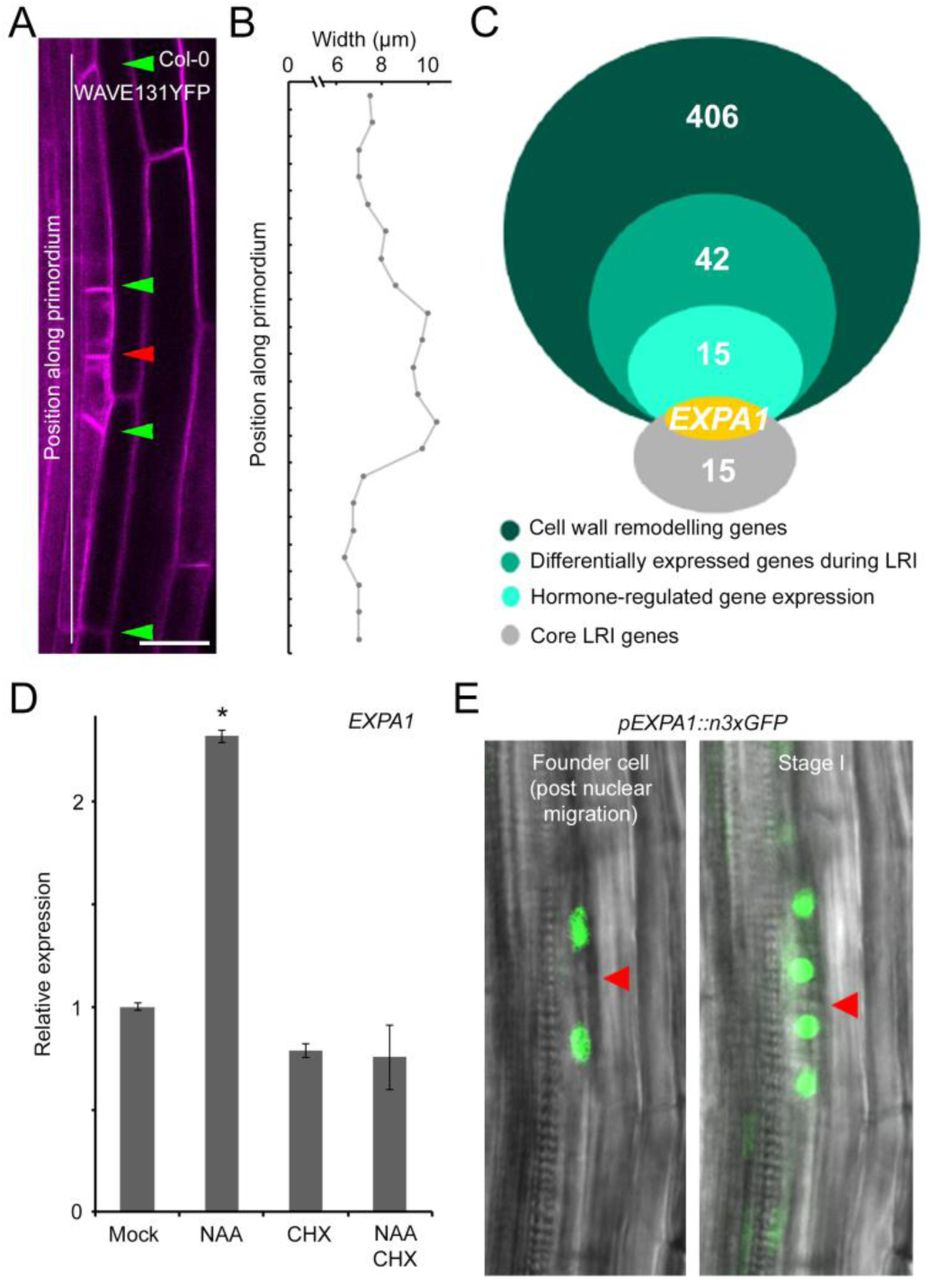 The expa1-1 mutant reveals a new biophysical lateral root