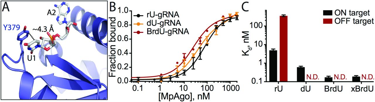Enigmatic Chemical Tag Is Altered In >> Programmable Rna Recognition Using A Crispr Associated Argonaute