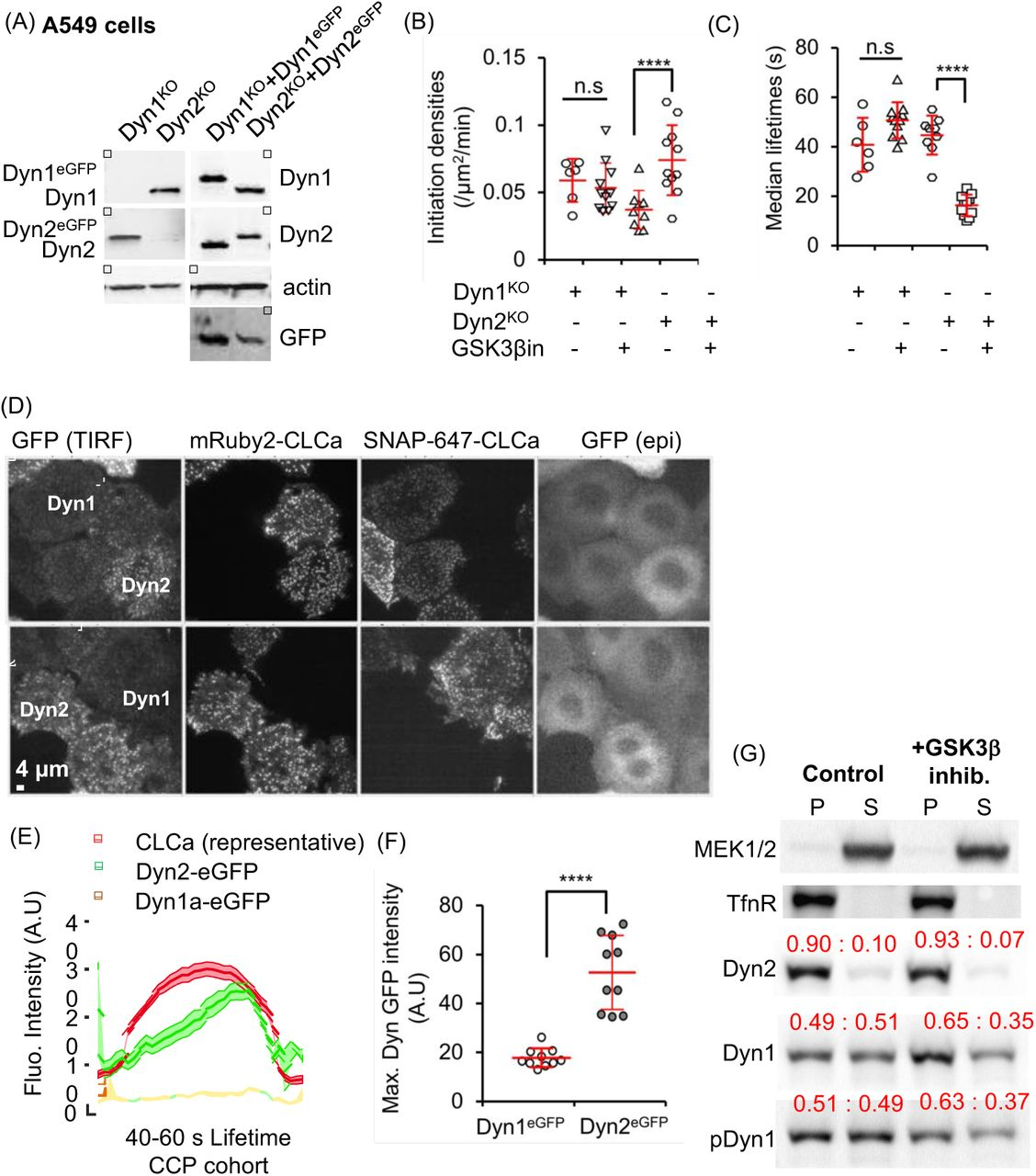 A non-canonical role for dynamin-1 in regulating early stages of