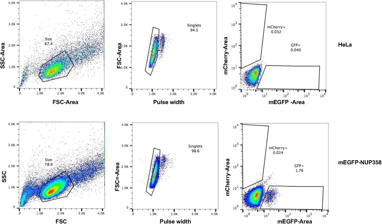 Generation and validation of homozygous fluorescent knock-in cells