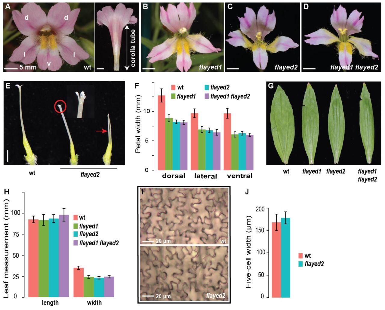 Developmental genetics of corolla tube formation: role of