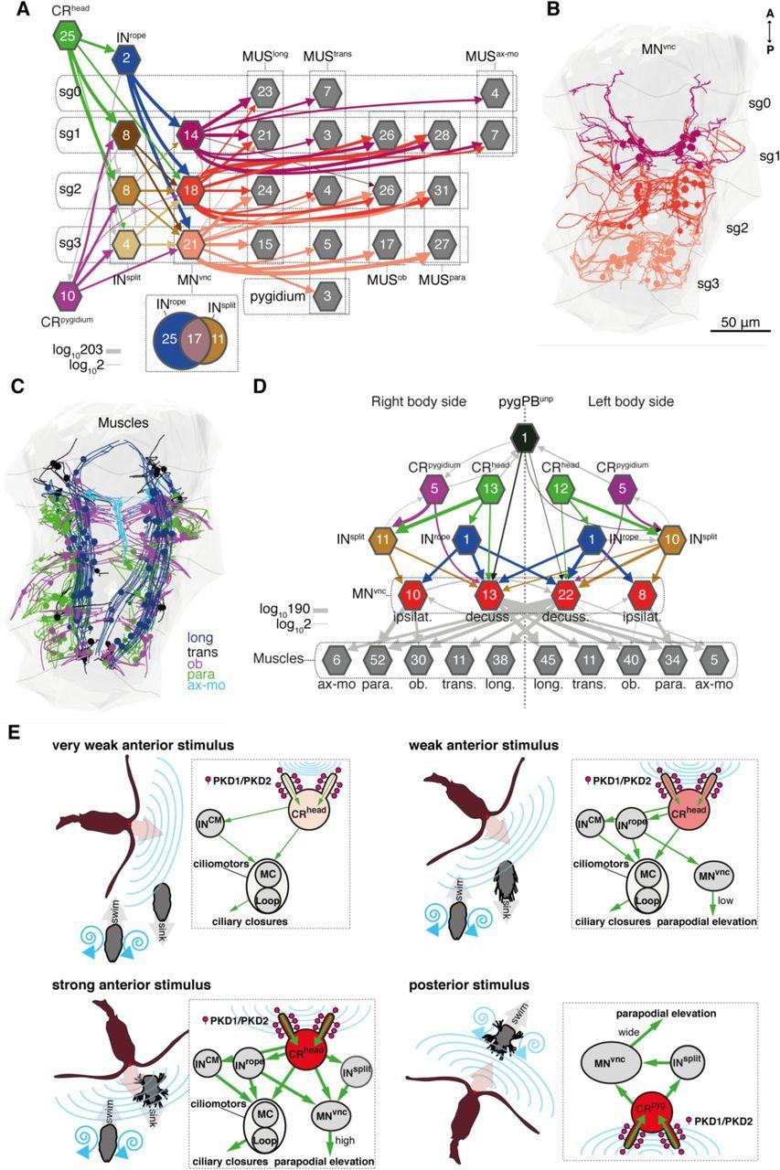 b1072f3e446 Neural circuitry of a polycystin-mediated hydrodynamic startle ...