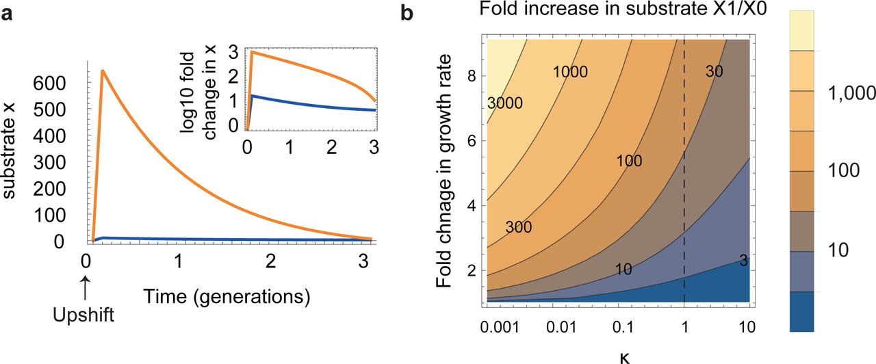 A bacterial growth law out of steady-state | bioRxiv