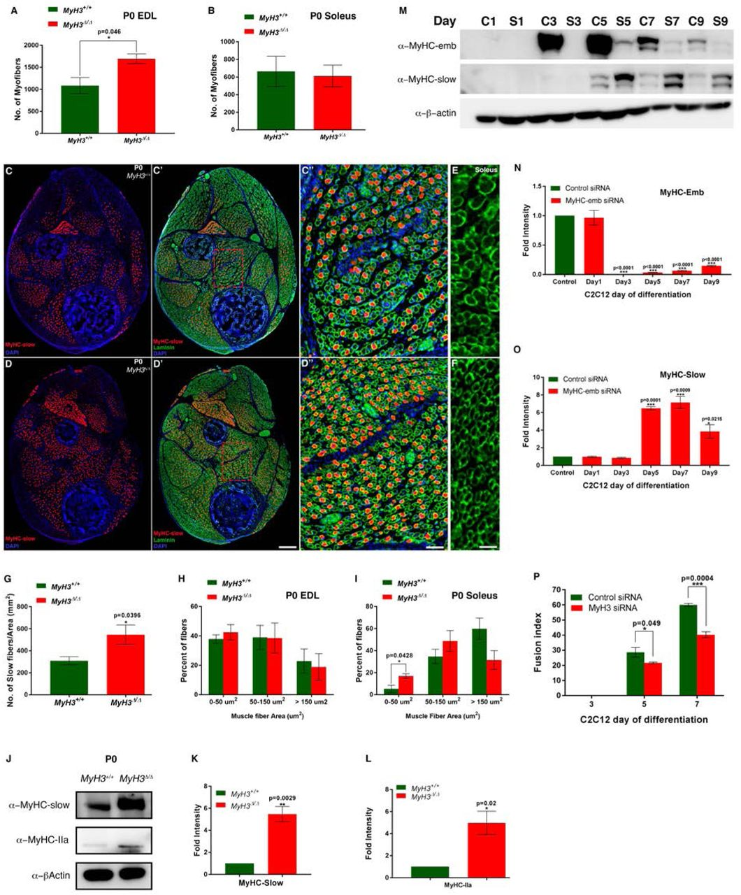 Loss of MyHC-embryonic function leads to myogenic differentiation defects in vivo and vitro. At postnatal day 0, the number of myofibers are significantly increased in the EDL muscle in the hind limbs of MyH3 Δ/Δ animals compared to MyH3 +/+ animals (A), while no significant difference in the number of myofibers is observed in the case of the soleus muscle (B). MyHC-slow positive fibers are increased in P0 MyH3 Δ/Δ animal hind limb cross sections (D, D'), compared to MyH3 +/+ control animals (C, C'), where the sections are labeled by immunofluorescence for MyHC-slow (Red), Laminin (Green) and DAPI (Blue). C'' and D'' are magnified regions of the boxed area of MyH3 +/+ and MyH3 Δ/Δ P0 hind limb cross sections from C' and D' respectively. The elevated number of MyHC-slow+ fibers in P0 MyH3 Δ/Δ hind limb cross sections compared to MyH3 +/+ controls was quantified normalized to total area and is statistically significant (G). The myofiber size was found to be smaller in the soleus muscle of MyH3 Δ/Δ animals (F) as compared to MyH3 +/+ animals (E). The myofiber area of myofibers of the EDL and soleus muscles at P0 were quantified, grouping myofibers into 3 categories by area, 0-50 μm 2 , 50-150 μm 2 and above 150 μm 2 . It was found that the number of myofibers in the 0-50 μm 2 group was increased significantly in the soleus muscle of MyH3 Δ/Δ animals compared to controls (I), but was unchanged in the EDL (H). Protein levels of MyHC-slow and MyHC-IIa are about 5-fold upregulated in the MyH3 Δ/Δ animals compared to MyH3 +/+ animals by western blots (J), which is quantified by densitometry (K and L). MyHC-emb protein levels are significantly reduced upon treatment of C2C12 cells with MyH3 siRNA compared to control siRNA over 9 days of differentiation as detected by western blots and densitometry (M and N), while protein levels of MyHC-slow are significantly increased from day 5 onwards reaching a peak of more than 6-fold increase by day 7 upon MyHC-emb knockdown as detecte