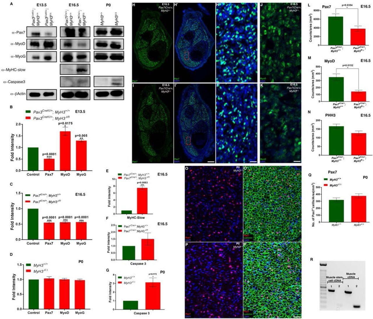 MyHC-embryonic regulates myogenic progenitor and myoblast differentiation non-cell autonomously during embryonic and fetal phases of myogenesis in vivo. At E13.5 during embryonic myogenesis, loss of MyHC-emb in the myogenic lineage in Pax3 CreKI/+ , MyH3Δ/fl3-7 leads to a significant reduction in Pax7 levels and a significant increase in MyoD and Myogenin levels by western blots (A), and quantified by densitometry (B) compared to control Pax3 CreKI/+ , MyH3+/+ animals. At E16.5 during fetal myogenesis, loss of MyHC-emb in the myogenic lineage in Pax7 iCre/+ , MyH3Δ/fl3-7 leads to a significant reduction in Pax7, MyoD and Myogenin levels by western blots (A), and quantified by densitometry (C), as compared to control Pax7 iCre/+ , MyH3+/+ animals. Pax7, MyoD and Myogenin protein levels are similar between MyH3 Δ/Δ and MyH3 +/+ animals at P0 by western blots (A), which is quantified by densitometry (D). The levels of MyHC-slow are increased about 7-fold at E16.5 during fetal myogenesis compared to controls in Pax7 iCre/+ , MyH3Δ/fl3-7 animals by western blot (A) and quantified by densitometry (E). Cell death measured by levels of cleaved Caspase3 protein was detected by western blots at E16.5 and P0 (A) and quantified by densitometry which showed that there was no significant difference in cell death between controls and Pax7 iCre/+ , MyH3Δ/fl3-7 animals at E16.5 (F), while cell death was significantly elevated by about 3-fold in the MyH3 Δ/Δ animals compared to MyH3 +/+ animals at P0 (G). At E16.5 during fetal myogenesis, loss of MyHC-emb in the myogenic lineage in Pax7 iCre/+ , MyH3Δ/fl3-7 leads to a significant reduction in the number of Pax7+ cells in the hind limb muscles compared to control by labeling Pax7 (Green), and DAPI (Blue) by immunofluorescence (H, H', I, I'), which is quantified normalized to total area (L). H′' and I′' are magnified regions from H' and I' respectively. MyoD+ myoblasts at E16.5 during fetal myogenesis in control and Pax7 iCre/+ , MyH3Δ