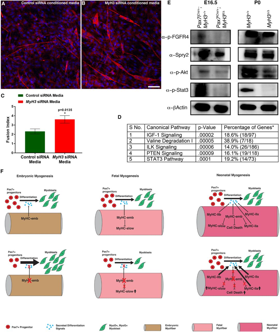 MyHC-embryonic regulates myogenic differentiation non-cell autonomously. C2CI2 cells were allowed to differentiate for 4 days in conditioned media from control siRNA treated cells (A), as compared to MyH3 siRNA treated cells (B), and labeled by immunofluorescence for MyHC-slow and fast MyHCs to mark the myofibers (red) and nuclei are labeled by DAPI (blue). The cells grown in conditioned media from MyH3 siRNA treated cells promotes differentiation, with larger myofibers with more nuclei visible (B). The fusion index was calculated and a significant increase in fusion index was observed in the cells differentiated in MyH3 siRNA treated conditioned media as compared to cells differentiated in conditioned media from control siRNA treated cells (C). The RNA-Seq data from P0 MyH3 +/+ and MyH3 Δ/Δ samples for quadriceps, tibialis anterior, gastrocnemius, and diaphragm muscles was subjected to pathway analysis to identify the major pathways altered upon loss of MyHC-emb, where the top 5 pathways that were significantly altered had 4 pathways that are related to growth factor related MAP kinase signaling (D). The p-value and the number of genes affected as compared to total number of genes in the respective pathway are represented in the table (D). In order to validate pathway activation during fetal myogenesis where MyHC-emb plays significant roles, as compared to P0 stage, western blots were performed on E16.5 Pax7 iCre/+ , MyH3Δ/fl3-7 compared to Pax7 iCre/+ , MyH3+/+ animals, and MyH3 Δ/Δ and MyH3 +/+ animals at P0 for p-FGFR4, Spry2, p-Akt, and p-Stat3 (E). p-FGFR4 levels are drastically downregulated at E16.5 upon loss of MyHC-emb, while it is downregulated upon loss of MyHC-emb at P0 (E). Spry2 levels are downregulated upon loss of MyHC-emb at E16.5, but is unchanged at P0 (E). p-Akt and p-Stat3 levels are downregulated upon loss of MyHC-emb at both E16.5 and P0 stages, with beta-actin used as loading control (E). MyHC-emb thus plays roles in myogenesis during embryo