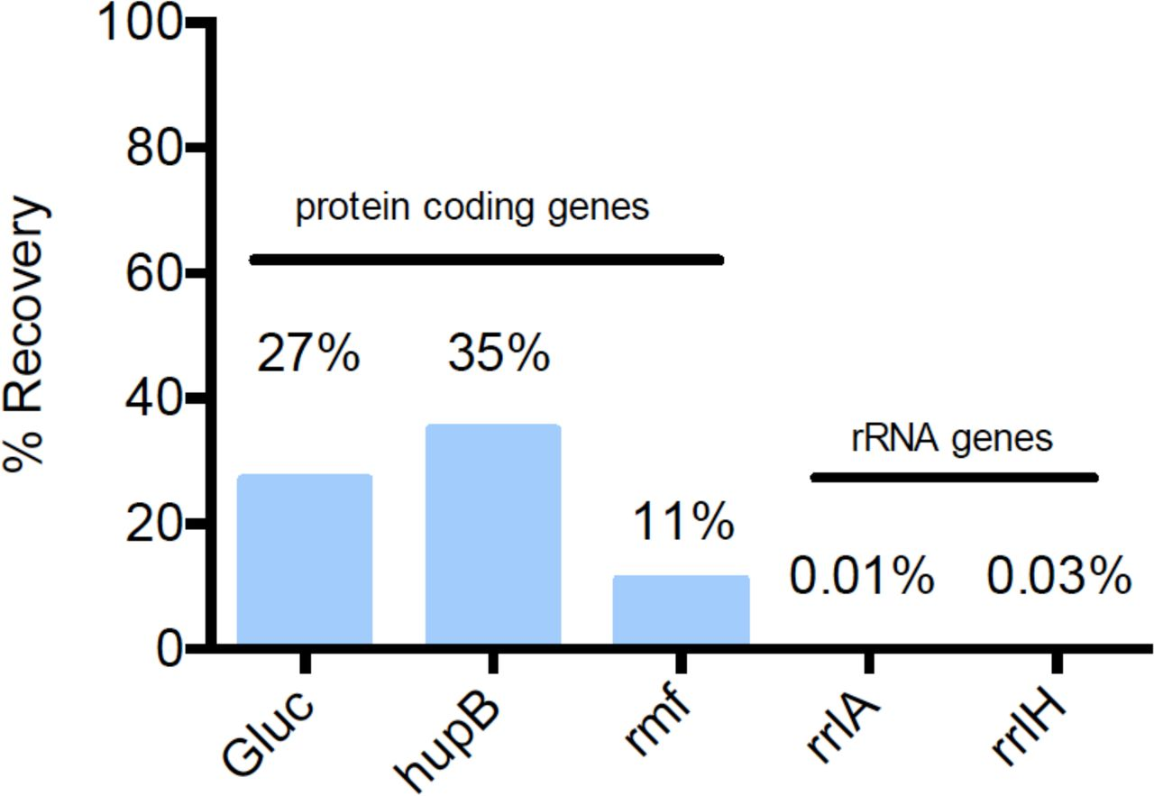 Recovery of mRNA and rRNA by SMRT-Cappable-seq. The mRNA levels of protein coding genes (Gluc, hupB and rmf) and rRNA genes (rrlA and rrlH) were measured by qPCR using the cDNA obtained from E. coli grown in M9 medium. The recovery rates (in %, Y axis) was calculated as the amount of mRNA in the enriched fraction (after streptavidin) divided by the amount of mRNA in the control fraction (no streptavidin enrichment). Gluc is an in-vitro transcribed mRNA spiked in the E. coli total RNA as positive triphosphorylated control. HupB and rmf are endogenous protein coding genes representative of primary transcripts. rrlA and rrlH are rRNA representative of processed transcripts.
