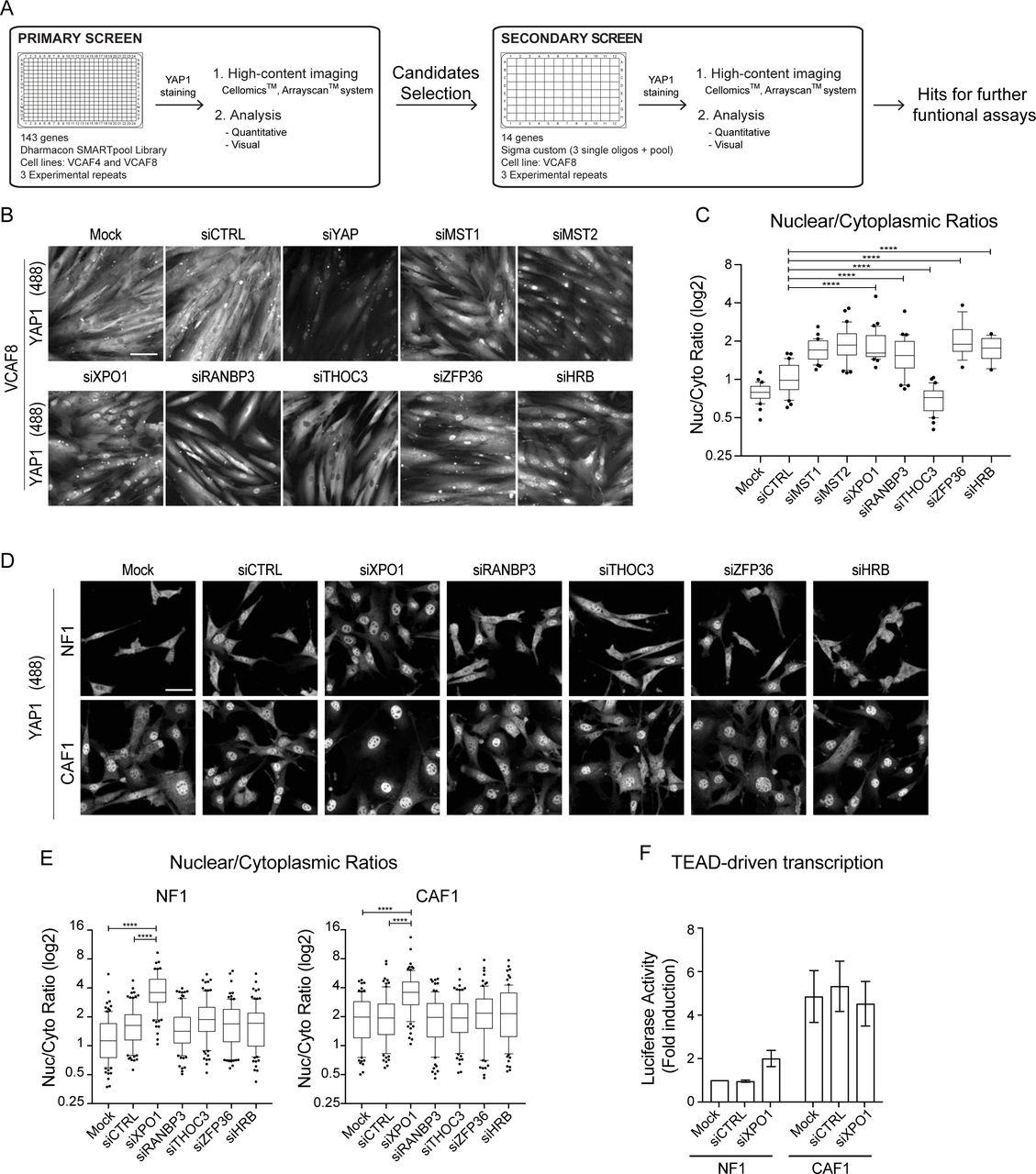 Actin and Src-family kinases regulate nuclear YAP1 and its export