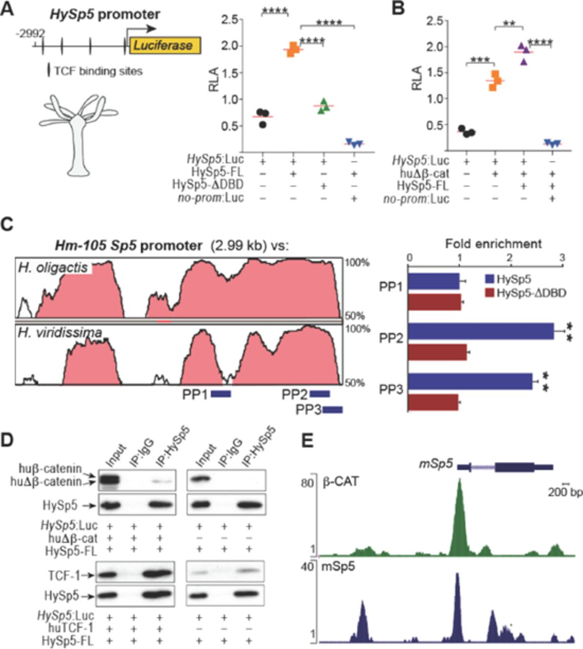 An Evolutionary Conserved Wnt3β Cateninsp5 Feedback Loop