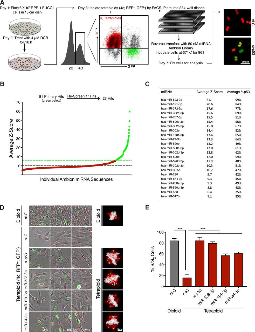 A genome-wide miRNA screen identifies regulators of tetraploid cell
