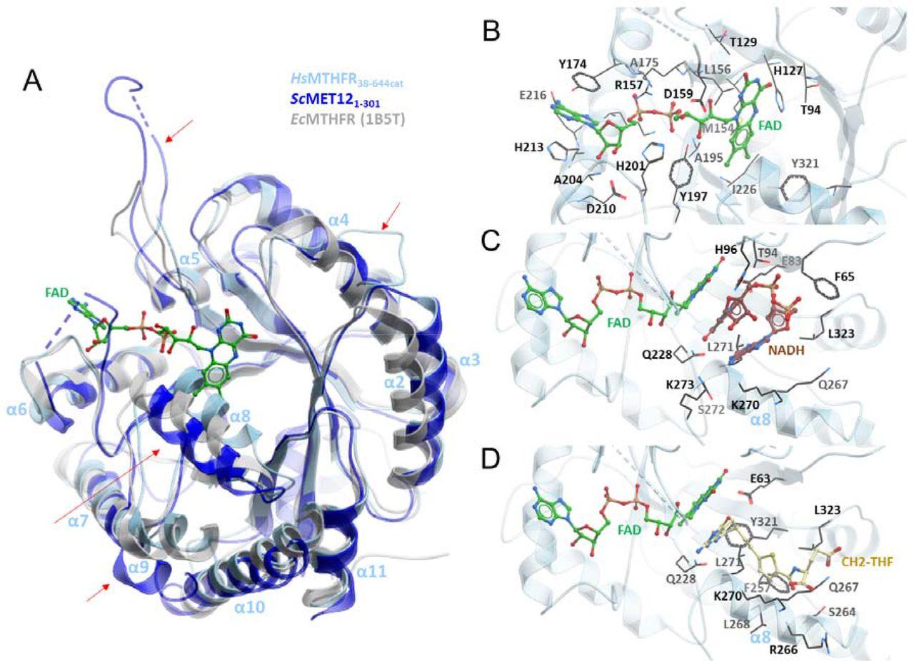 Structural basis of human 5,10-methylenetetrahydrofolate